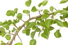 Zweig der Birne Stockfotografie