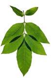 Zweig der Blätter Lizenzfreies Stockfoto