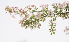 Zweig der Blüte auf weißem Hintergrund Stockbild