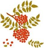 Zweig der Eberesche mit roten Beeren. Lizenzfreies Stockfoto