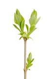 Zweig der Flieder Stockfotos