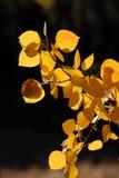 Zweig der gelben Aspen-Blätter Stockfotos