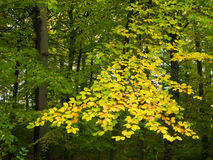 Zweig der gelben Bucheblätter Stockfotos