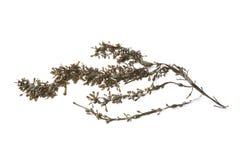 Zweig der gemeinen Meerespflanze Stockbilder