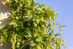 Zweig der grünen Hopfen Lizenzfreie Stockfotografie