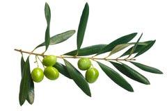 Zweig der grünen Oliven Lizenzfreie Stockbilder