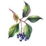 Zweig der Holunderbeeresambucus Nigraanlage mit Herbstlaub und schwarzen Beeren Stockfotografie
