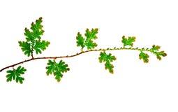 Zweig der jungen grünen Blätter Stockbild