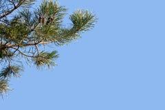 Zweig der Kiefer Stockbild