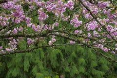 Zweig der Kirschbaumblüte Lizenzfreie Stockfotos