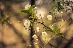 Zweig der Kirschblüten Stockfotos