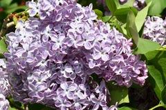 Zweig der lila purpurroten Farbe Stockbild