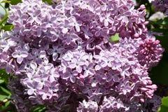 Zweig der lila purpurroten Farbe Stockfotos