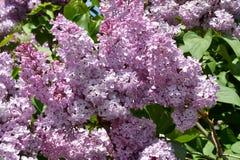 Zweig der lila purpurroten Farbe Lizenzfreies Stockbild