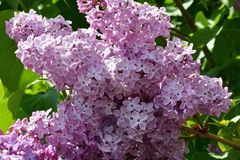 Zweig der lila purpurroten Farbe Stockbilder