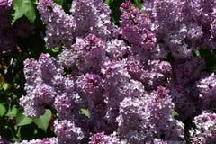 Zweig der lila purpurroten Farbe Lizenzfreie Stockfotografie