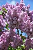 Zweig der lila purpurroten Farbe Lizenzfreies Stockfoto