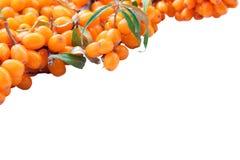 Zweig der Meerwegdorn Beeren Lizenzfreies Stockfoto