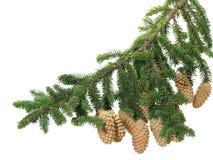 Zweig der Pelzbäume Stockfoto