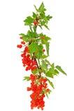 Zweig der roten Johannisbeere Lizenzfreies Stockfoto