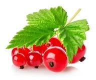 Zweig der roten Johannisbeere Stockbild