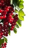 Zweig der roten Johannisbeeren auf einem weißen Hintergrund Lizenzfreie Stockfotografie