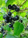 Zweig der Schwarzen Johannisbeere auf dem Busch Lizenzfreies Stockbild