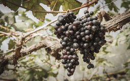 Zweig der schwarzen Trauben Lizenzfreie Stockbilder