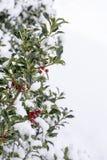 Zweig der Stechpalme mit roten Beeren Stockbilder