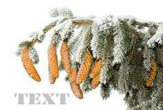 Zweig der Tanne mit Kegeln unter Schnee Lizenzfreies Stockfoto