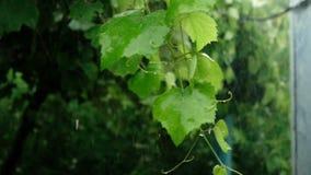 Zweig der Traube mit Grün verlässt in der regnerischer Tageszeitlupe stock video
