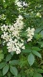Zweig der weißen Ältestblume auf Niederlassung des Baums Lizenzfreies Stockbild
