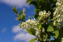 Zweig der weißen Flieder Lizenzfreie Stockfotografie
