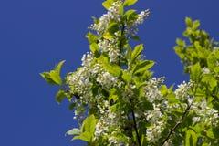 Zweig der weißen Flieder Stockfotos