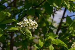 Zweig der weißen Flieder Lizenzfreie Stockfotos