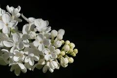 Zweig der weißen frischen Flieder mit den kleinen Knospen und den geöffneten Blumen auf einem schwarzen Hintergrund Lizenzfreie Stockfotografie