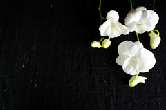 Zweig der weißen Orchidee Stockbild