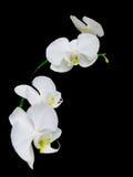 Zweig der weißen Orchideen auf einem schwarzen Hintergrund Stockbild