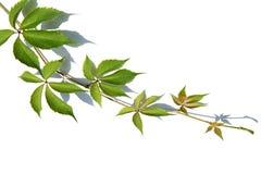 Zweig der wilden Traubenrebe Lizenzfreie Stockfotos