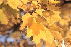 Zweig des Ahornholzbaums Stockfotografie