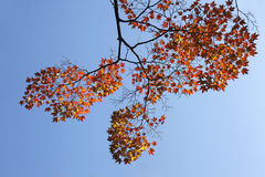 Zweig des Ahornholzbaums mit orange Blättern Stockfoto