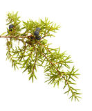 Zweig des allgemeinen Wacholderbusches mit den reifen und unausgereiften Beeren Stockfoto