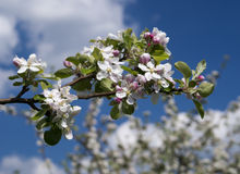 Zweig des Apfelbaums Stockbilder