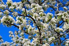 Zweig des Apfelbaums Stockfotos