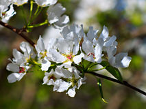 Zweig des Apfelbaums Lizenzfreie Stockfotos