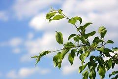 Zweig des Apfelbaums auf einem Hintergrundhimmel. Lizenzfreie Stockfotos