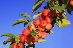 Zweig des Apfelbaums mit roten Äpfeln Lizenzfreie Stockfotografie