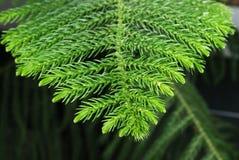Zweig des Araukarienbaums stockfoto