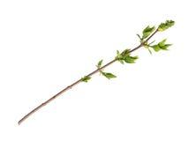 Zweig des Baums Lizenzfreie Stockbilder