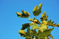 Zweig des Baums der geläufigen Feige gegen einen freien blauen Himmel Lizenzfreie Stockfotos